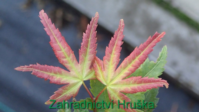 Acer palm Little Princes