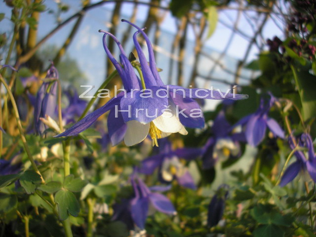 Aquilegia Spring Magic-Blue White zmena velikosti